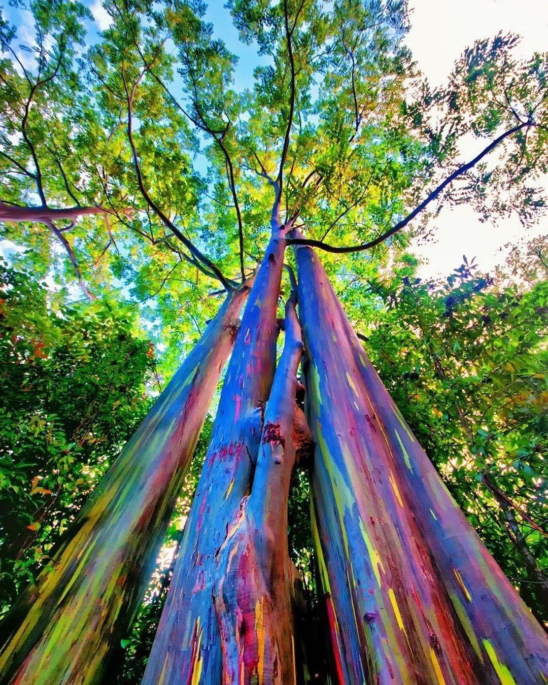 The Rainbow Eucalyptus - Hawaii