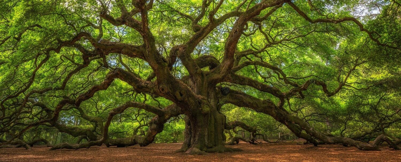 The Angel Oak - Charleston