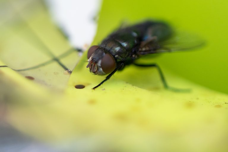 Flies and Mosquitoes: Discovering the Two-Winged Members of the Vast Insect Group (Part 2)